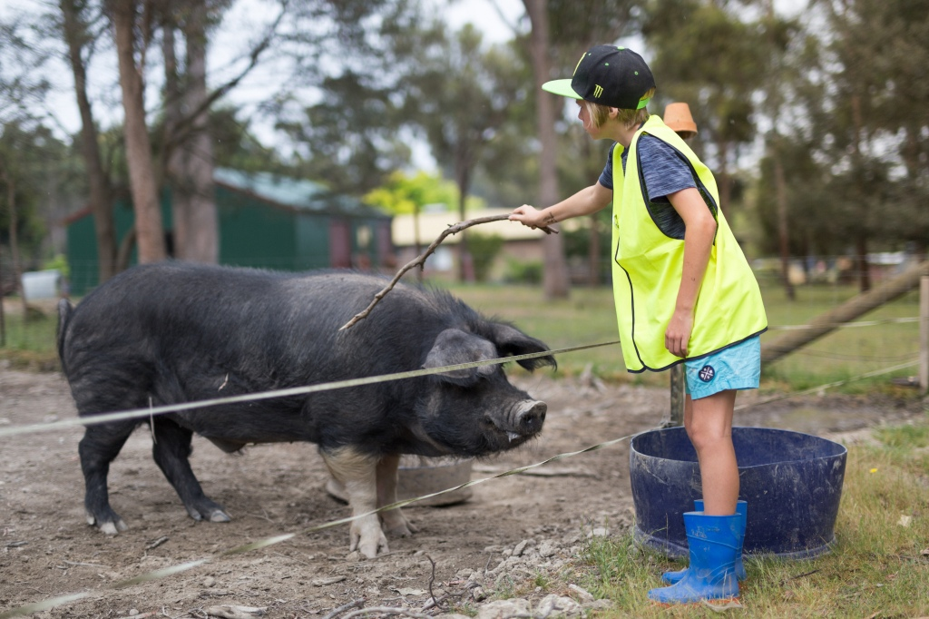 A young boy scratches a Saddleback pig with a stick