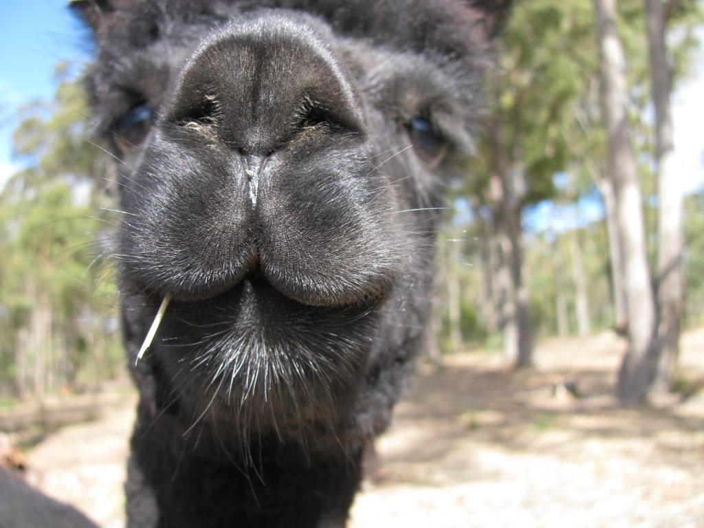 An alpaca stands amongst gum trees in Tasmania
